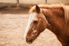 Head pony Royalty Free Stock Photography