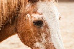 Head pony Royalty Free Stock Images