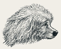 Head of the poodle. Vector drawing of the head of the lap dog vector illustration