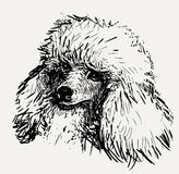 Head of poodle. Vector sketch of the head of the fluffy poodle royalty free illustration