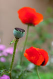 Head of poppy flower 2 Royalty Free Stock Photos