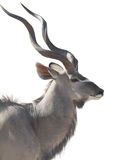 Head portrait of an african male kudu isolated on white backgrou. Nd. seen and shot in namibia, africa Royalty Free Stock Photos