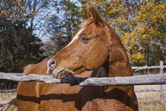 Head Portrait of a Chestnut Arabian Mare Looking Over a Rail Fence. Head portrait of an alert arabian horse behind a rustic rail fence in a natural setting royalty free stock photos
