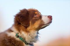 Head portrait of an Australian Shepherd puppy Stock Image
