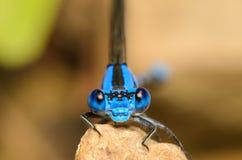 Head Portrait of a Blue Damesfly. Headshot Portrait of a Blue Damesfly with Large Eyes Royalty Free Stock Photo