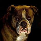A head portrait of bulldog Royalty Free Stock Photos