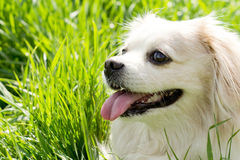 Head portrait of a cute toy breed dog Stock Images