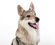 Head portrait of a Czechoslovakian wolfdog Royalty Free Stock Photography