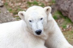Head portrait of an ice bear. A head portrait of an ice bear royalty free stock images