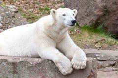 Head portrait of an ice bear. A head portrait of an ice bear royalty free stock photography