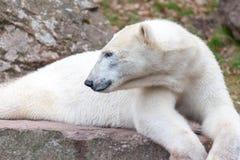 Head portrait of an ice bear. A head portrait of an ice bear royalty free stock photo