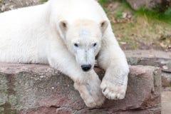 Head portrait of an ice bear. A head portrait of an ice bear stock images