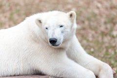 Head portrait of an ice bear. A head portrait of an ice bear royalty free stock image