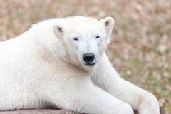 Head portrait of an ice bear. A head portrait of an ice bear stock photos
