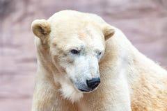 Head portrait of an ice bear. A head portrait of an ice bear stock image