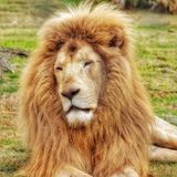 Head portrait of a lion. royalty free stock photos