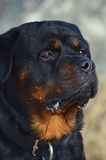 Head portrait of a placid Rottweiler dog stock images
