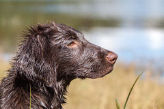 Head portrait Puppy. Headportrait Flat-Coated Retriever Puppy royalty free stock image