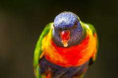 Head on portrait of a rainbow lorikeet with food in its beak. A rainbow lorikeet facing the viewer with food in its beak Royalty Free Stock Images