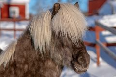 Head portrait of a silver dopple colored Icelandic horse in sunlight royalty free stock photography