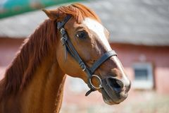 Head portrait of sorrel horse with bridle on. At sunny day royalty free stock photography