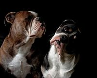 A head portrait of two Bulldogs. An adult male and a puppy female 6 months stock photo