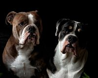 A head portrait of two Bulldogs. An adult male and a puppy female 6 months stock photography