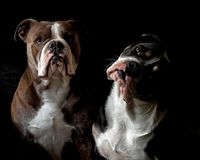 A head portrait of two Bulldogs. An adult male and a puppy female 6 months royalty free stock photo