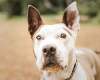 Head portrait of a white and tan pit bull dog royalty free stock photo