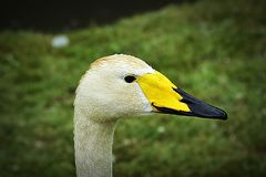 Whooper Swan portrait. royalty free stock photography