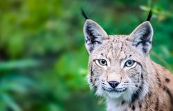 Head portrait of wild Eurasian lynx cat curious staring straight into the camera. Background of green leafs and trees out of focus due to shallow depth of Stock Images