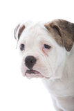 Head portrait of a wrinkled white dog Royalty Free Stock Image