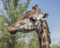 Head portrait of a young giraffe Stock Photo