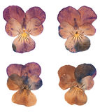 Head pressed dried violet flowers isolated Stock Photo