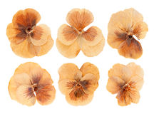 Head pressed dried violet flowers isolated Stock Image