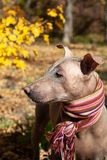 The head of pretty pale dog in bright stripped scarf on the autumn/fall background. royalty free stock images