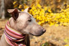 The head of pretty pale dog in bright stripped scarf on the autumn/fall background. stock photos