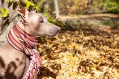 The head of pretty pale dog in bright stripped scarf on the autumn/fall background. stock photography