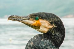 Head profile of a cormorant stock photo