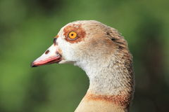 Head in profile of Egyptian Goose Royalty Free Stock Photography