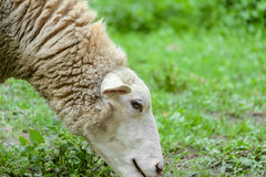 Head in profile of grazing sheep closeup on a background of green pastures Stock Photos