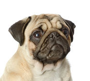 Head pug puppy closeup. Isolated on white background Royalty Free Stock Images