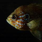 Head of pumpkinseed sunfish (Lepomis gibbosus) Stock Image