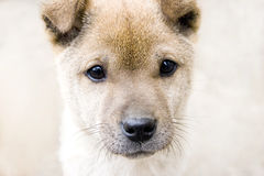Head of puppy. A picture of a puppy's head :brown color,bright eyes,long black tiny beard Stock Image