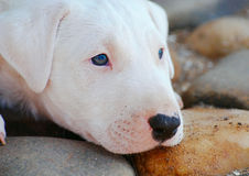 Head of a puppy. Of a bull terrier laying on stones Royalty Free Stock Images