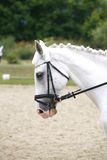 Head of a purebred grey dressage horse outdoors Royalty Free Stock Photos
