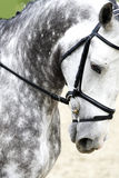 Head of a purebred grey dressage horse outdoors Stock Photos