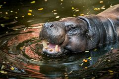 Pygmy Hippo, small hippopotamus. Head of Pygmy Hippo, small hippopotamus in the pond stock image