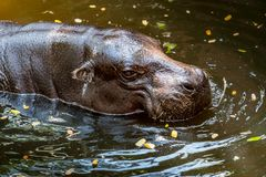 Pygmy Hippo, small hippopotamus. Head of Pygmy Hippo, small hippopotamus in the pond royalty free stock photo