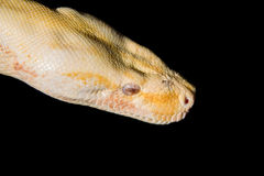 Head of  Python. Macro Head of  Python at the Blurred Black Background Royalty Free Stock Images